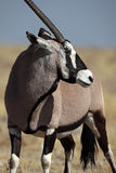 Gemsbok oryx, Etosha NP, Namibia Royalty Free Stock Photography