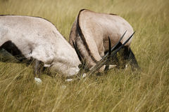 Gemsbok or Oryx fighting Royalty Free Stock Photo