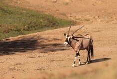 Gemsbok, Oryx gazela Fotografia Stock