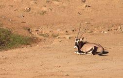 Gemsbok, Oryx gazela Zdjęcie Stock