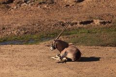 Gemsbok, Oryx gazela Obraz Stock