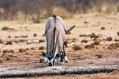 Gemsbok, Oryx gazela, in the Bwabwata National Park, Namibia Stock Photo