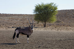 Gemsbok, Oryx gazela, Gemsbok National Park, South Africa Royalty Free Stock Photography