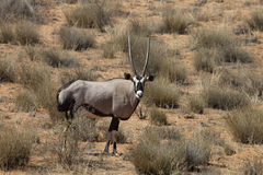 Gemsbok, Oryx gazela, Gemsbok National Park, South Africa Royalty Free Stock Images