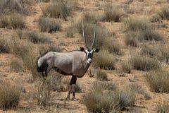 Gemsbok, Oryx gazela, Gemsbok National Park, South Africa Royalty Free Stock Images