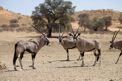 Gemsbok, Oryx gazela, Gemsbok National Park, South Africa Royalty Free Stock Image