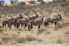 Gemsbok, Oryx gazela, Gemsbok National Park, South Africa Royalty Free Stock Photos