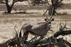 Gemsbok, Oryx gazela, Gemsbok park narodowy, Południowa Afryka Zdjęcie Royalty Free