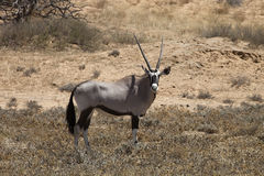 Gemsbok, Oryx gazela, Gemsbok park narodowy, Południowa Afryka Obrazy Royalty Free