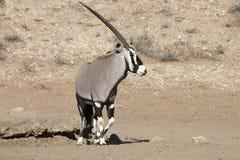 Gemsbok, Oryx gazela, Gemsbok park narodowy, Południowa Afryka Fotografia Stock
