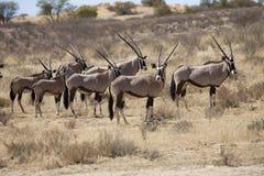 Gemsbok, Oryx gazela, Gemsbok park narodowy, Południowa Afryka Zdjęcia Royalty Free