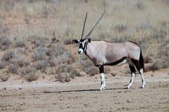 Gemsbok, Oryx gazela w Kalahari, Południowa Afryka Zdjęcie Stock