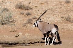 Gemsbok, Oryx gazela w kgalagadi, Południowa Afryka safari przyroda Zdjęcie Stock