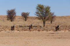 Gemsbok, Oryx gazela w kgalagadi, Południowa Afryka safari przyroda Obraz Royalty Free
