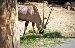 Gemsbok Oryx Gazella Lizenzfreies Stockbild