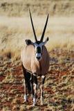 Gemsbok (Oryx gazella). In the Namib desert (Namibia Stock Photo