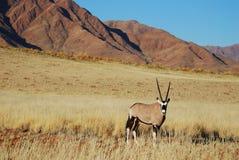 Gemsbok (Oryx gazella) Stock Image