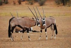 Gemsbok (Oryx Gazella) Lizenzfreies Stockbild