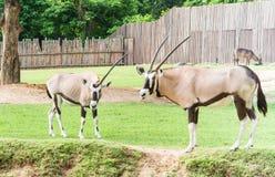 Gemsbok (Oryx Gazella) Royalty-vrije Stock Afbeelding