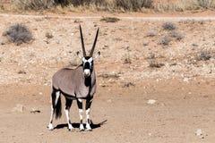 Gemsbok, Oryx-gazella Royalty-vrije Stock Afbeelding