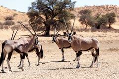 Gemsbok, Oryx-gazella Stock Afbeelding