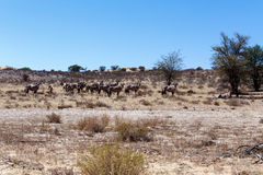 Gemsbok, Oryx-gazella Royalty-vrije Stock Foto