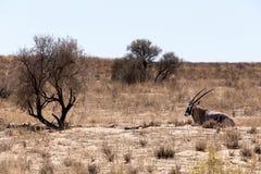 Gemsbok, Oryx-gazella Stock Afbeeldingen
