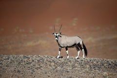 Gemsbok, Oryx Gazella Lizenzfreies Stockfoto