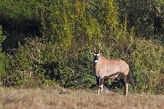 Gemsbok (Oryx gazella) Stock Photography