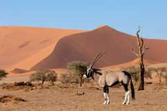 Gemsbok, Oryx gazella on dune, Namibia Wildlife. Gemsbok, Oryx gazella behind red dunes in Sossusvlei, Namibia wildlife safari royalty free stock photography