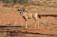 A Gemsbok Oryx gazella. A calf of the gemsbok Oryx gazella in the Kalahari desert, Namibia, Africa Stock Photos