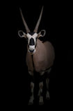 Gemsbok or oryx Stock Photo
