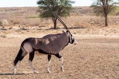 Gemsbok, Oryx gazella. Dominant Gemsbok antelope in the park, Kgalagadi, South Africa Royalty Free Stock Photography