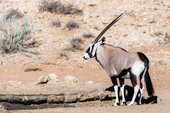 Gemsbok, Oryx gazella Royalty Free Stock Image