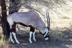 Gemsbok, Oryx gazella. Dominant Gemsbok antelope in the park, Kgalagadi, South Africa Royalty Free Stock Photo