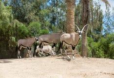 Gemsbok, Oryx gazella,dominant Gemsbok antelope. Portrait of Gemsbok, Oryx gazella,dominant Gemsbok antelope Royalty Free Stock Photo