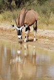 Gemsbok (Oryx gazella) drinking. At a waterhole (South Africa Royalty Free Stock Photography