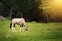 Gemsbok Oryx gazella eating something on green grass in zoo. Gemsbok Oryx gazella eating something on green grass in open zoo stock image