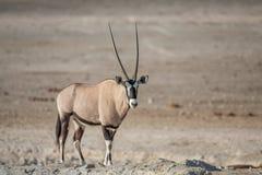Gemsbok Oryx gazella. Etosha National Park, Namibia Royalty Free Stock Photo