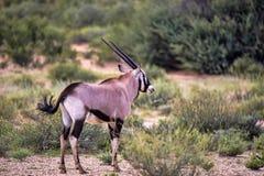Gemsbok, Oryx gazella gazela, Kalahari Południowa Afryka Zdjęcie Stock