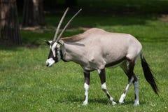 Gemsbok Oryx gazella gazella Stock Photography