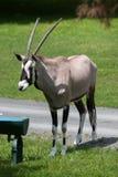 Gemsbok Oryx gazella gazella Stock Images