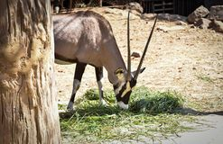Gemsbok oryx gazella royalty free stock image