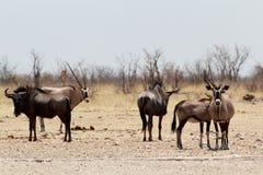 Gemsbok, Oryx gazella and Gnu in african bush. Etosha, Namibia, true wildlife Stock Image