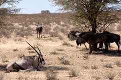 Gemsbok, Oryx gazella and Gnu in african bush Royalty Free Stock Images