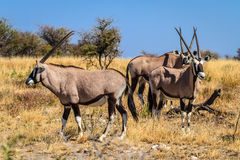 Gemsbok or Oryx gazella grazing in Etosha National Park, Namibia, Africa Royalty Free Stock Image