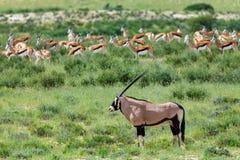 Gemsbok, Oryx-gazella in Kalahari stock afbeeldingen
