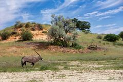 Gemsbok, Oryx gazella in Kalahari royalty free stock photo