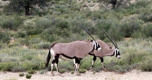 Gemsbok, Oryx gazella in Kalahari stock video footage
