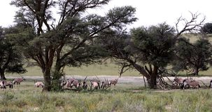 Gemsbok, Oryx-gazella in Kalahari stock footage